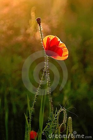 lonely poppy on a meadow at sunrise