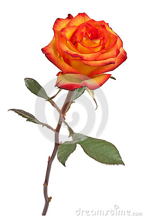 Free Lonely Rose Royalty Free Stock Image - 45826386