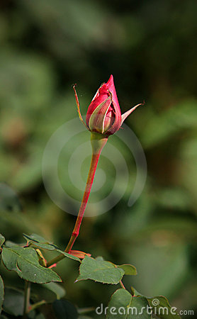 Lonely rose bud