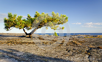 Lonely Stunted Pine Tree Royalty Free Stock Photo - Image: 26797635