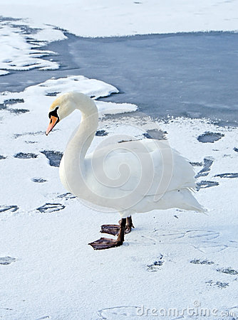 Lonely swan on ice