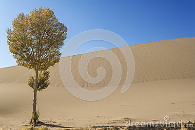 A lonely tree besides the sand dunes