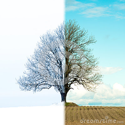 Free Lonely Tree Change From Winter To Spring Royalty Free Stock Photo - 67467795