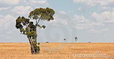 Lonely tree in the expanse of savanah