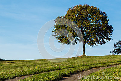 Lonely tree on a meadow