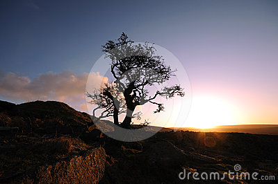 A lonely tree on the moor