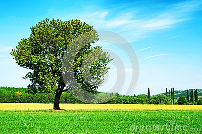 Lonely tree on wheat field