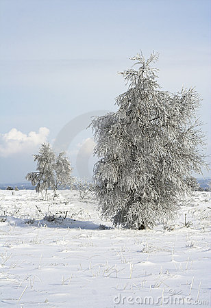 Lonely trees on a snowy meadow