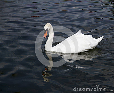 Lonely white swan in the blue lake