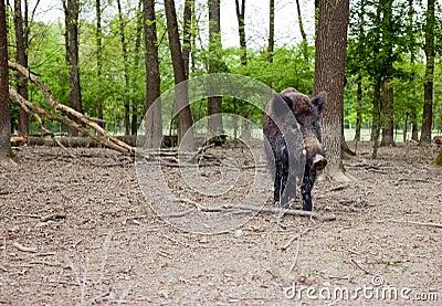 Lonely wild boar