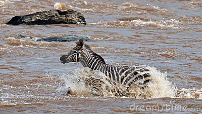 Lonely zebra crossing the river Mara