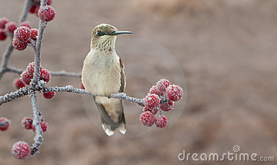 Lonesome juvenile male Hummingbird on a frosty