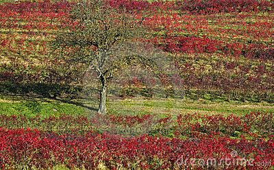 Lonesome Tree in a Vineyard