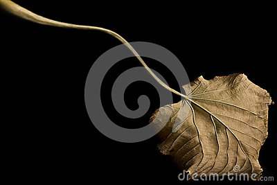 Autumn Leaf Black Fall Venation Long