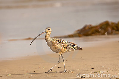 Long Billed Curlew on Beach