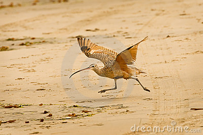 Long Billed Curlew Running on Beach