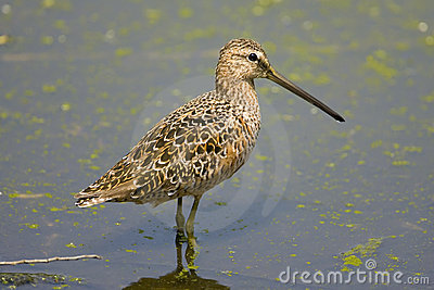 Long-billed Dowitcher perched