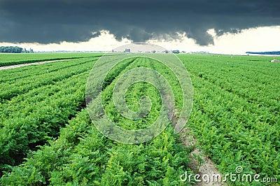 Long carrot field