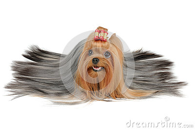 Long coated Yorkshire Terrier with silver hair