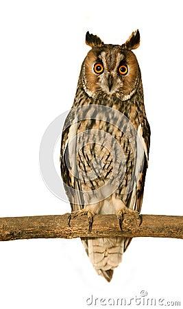 Free Long-eared Owl Stock Image - 18281141