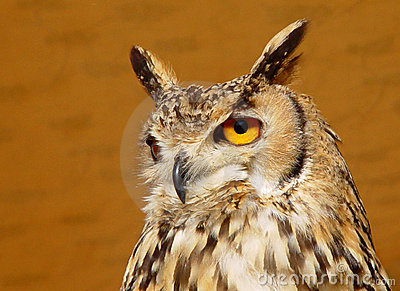 A Long-eared Owl