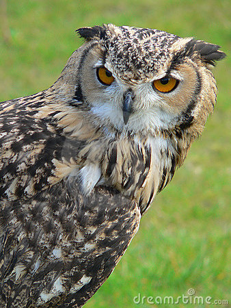 Free Long-Eared Owl Royalty Free Stock Photos - 246938