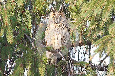 Long-eared owl  / Asio otus
