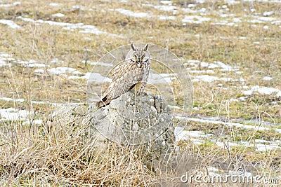 Long-eared owl (Asio otus)  / Asio otus