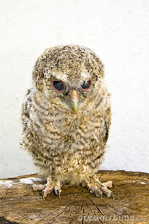 Long-eared owl (Asio otus) chick