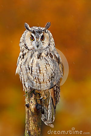 Free Long-eared Owl, Asio Otus, Sitting On Orange Oak Branch During Autumn. Beautiful Bird In Forest. Wildlife Scene From Nature. Catch Stock Photos - 84781453