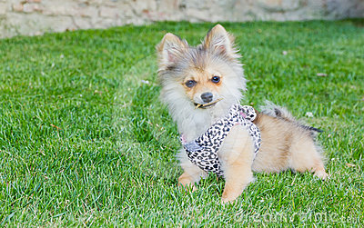 Long hair chihuahua on grass