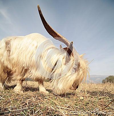 Long hair goat