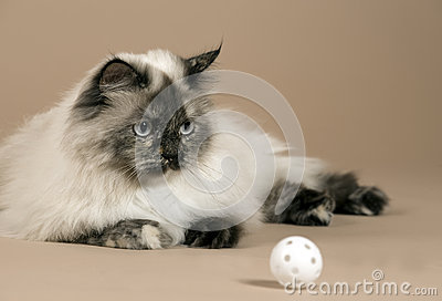 Long haired cat with ball isolated