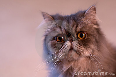 Long haired cat with curious look