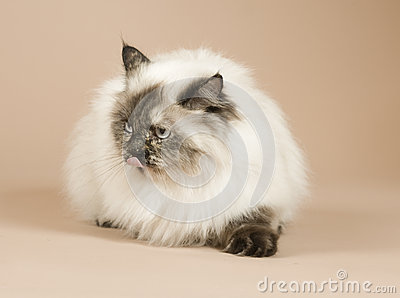 Long haired cat isolated