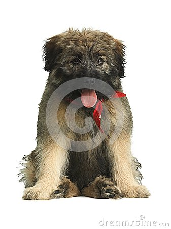 Free Long Haired Catalan Sheepdog Puppy With Red Scarf Sitting In A Funny Way. Stock Images - 104074634