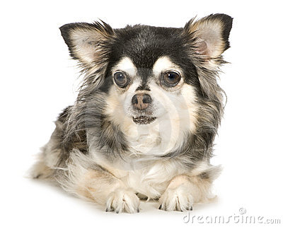 Long haired Chihuahua (11 years)