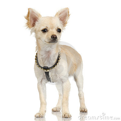 long haired chihuahua pictures. LONG HAIRED CHIHUAHUA ADULT