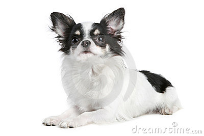 Long-haired Chihuahua Dog Stock Photography - Image: 17441172