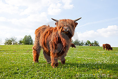 Long haired cow