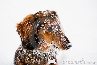 Long Haired Dachshund Winter Portrait