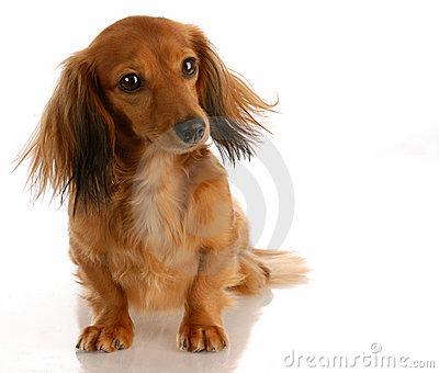 Long haired miniature dachshund