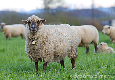 Long haired sheep with bell