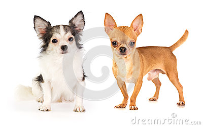 Long-haired and short-haired Chihuahua
