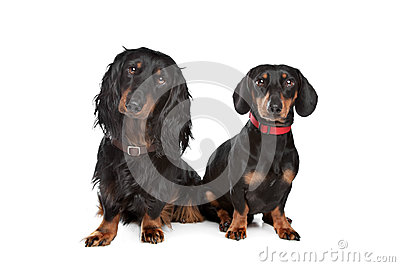 Long-haired and smooth dachshund
