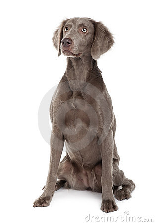Long-haired Weimaraner dog, sitting