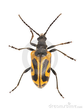 Free Long Horn Beetle (Brachyta Interrogationis) Royalty Free Stock Images - 10232939