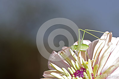 Long horn grasshopper and flower