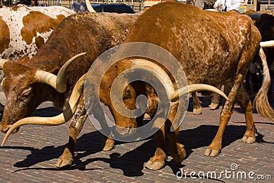 Long Horn Steer