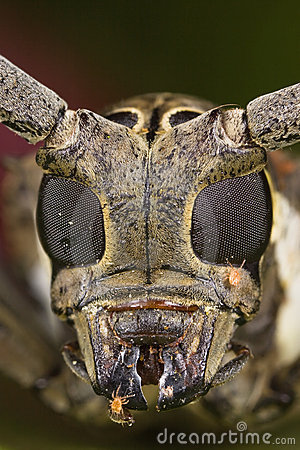 Long-horned beetle face